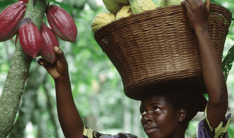 Femme ramassant des cabosses de cacao