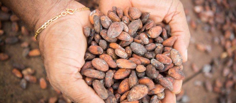 Mains tenant des fèves de cacao