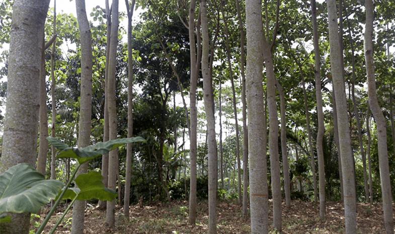 Forêt de balsa