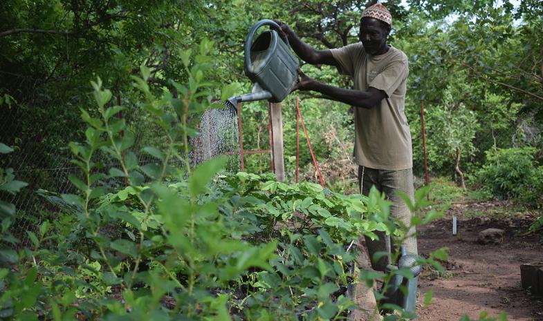 Homme arrosant les arbrisseaux à Dindéfélo, au Sénégal