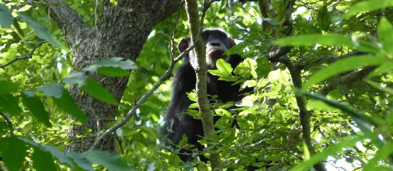 Un chimpanzé dans la forêt de Dindéfélo, au Sénégal