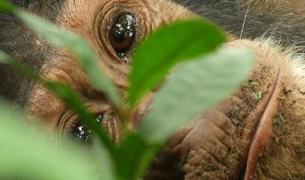 Chimpanzé en Tanzanie